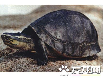 安布龟好养吗 布置环境的时候水位不要太深
